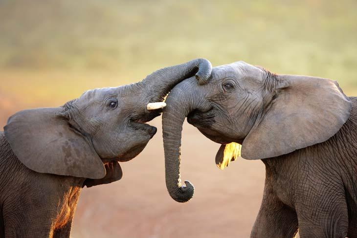 ivory anniversary